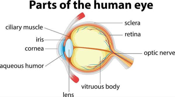 جميع أجزاء العين